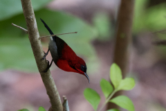 Kinabatangan - Temminck's sunbird