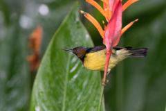 Kinabatangan - Brown-throated sunbird