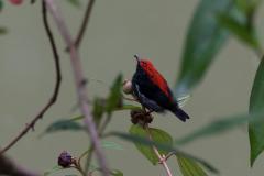 Kinabatangan - Scarlet-backed flowerpecker