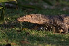Pulau Tiga - Water monitor lizard