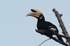 Pulau Tiga - Oriental pied hornbill