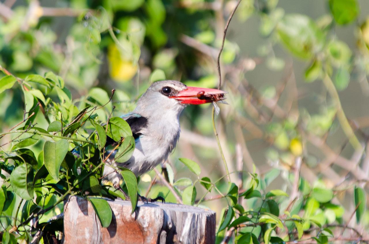 Morongulo - Woodland Kingfisher