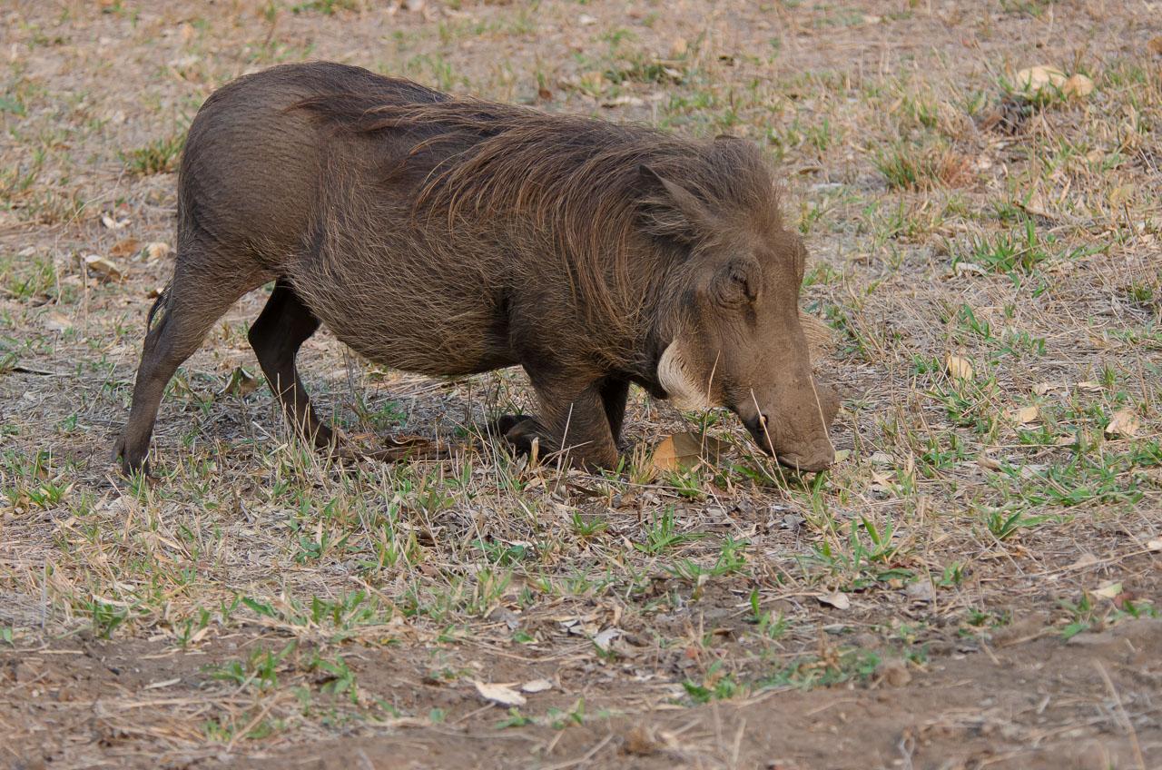 Gorongosa - Warthog