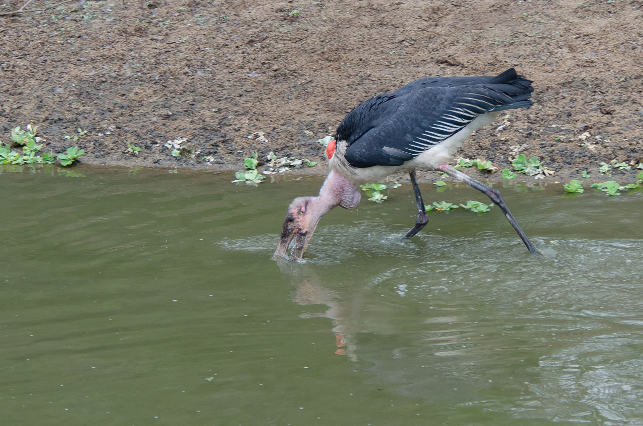 Gorongosa - Marabou stork