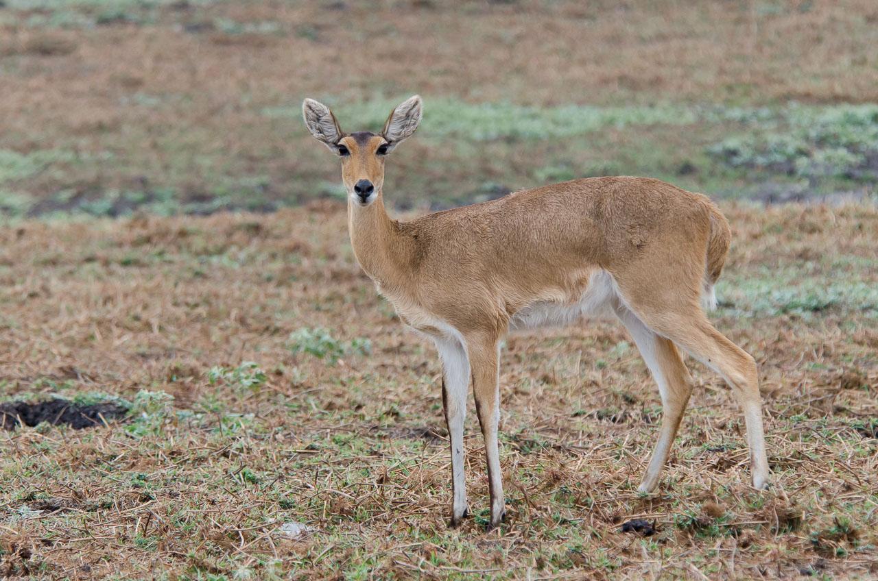 Gorongosa - Reedbuck