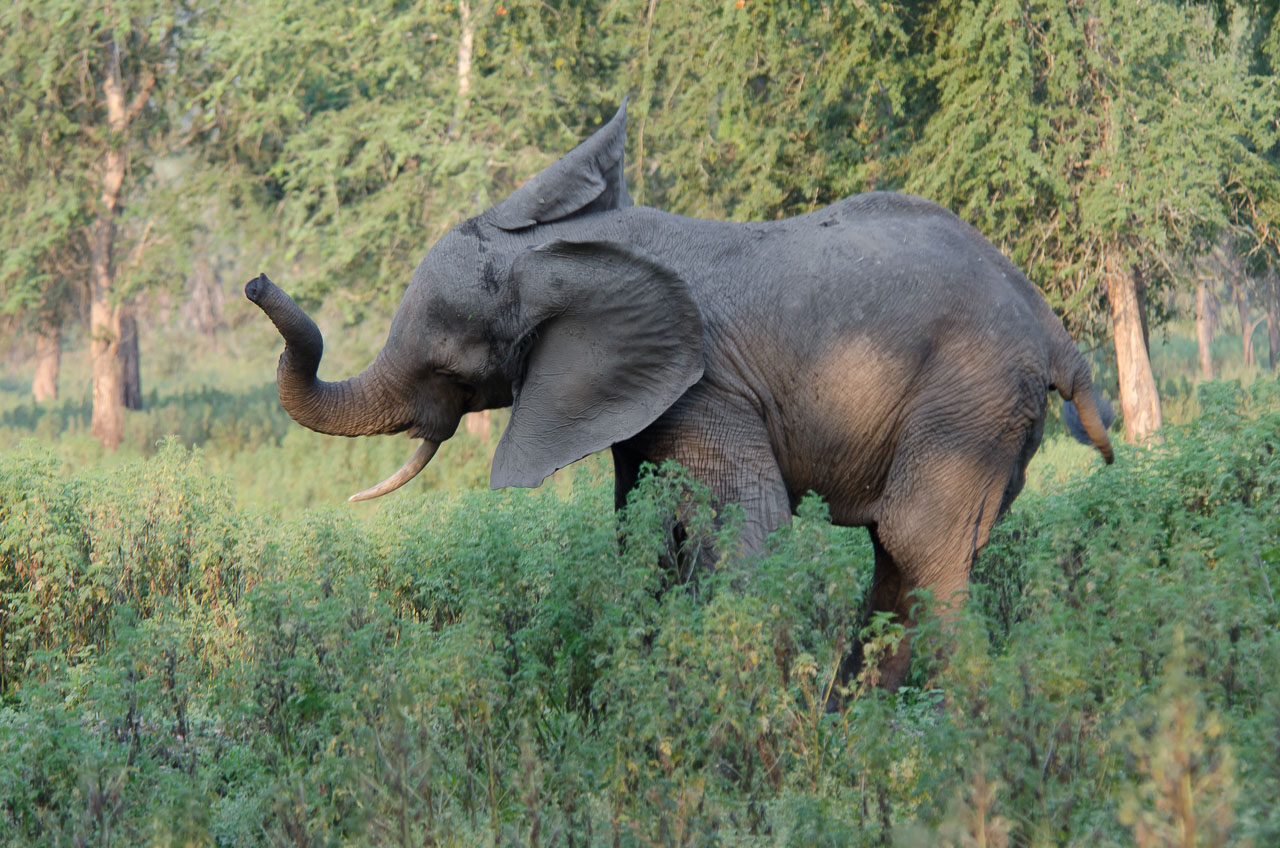 Gorongosa - Elephant