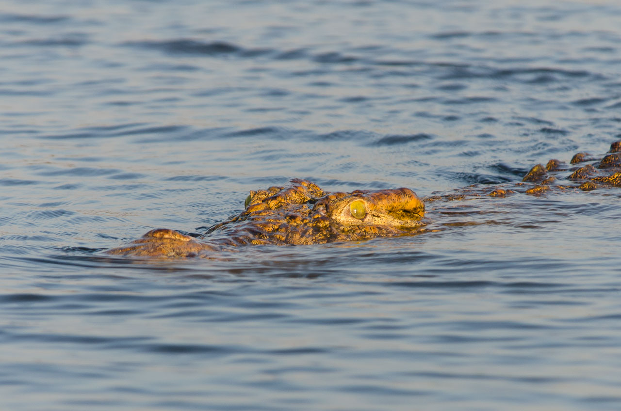 Liwonde - Nile crocodile
