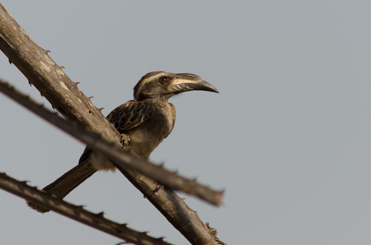 Liwonde - African grey hornbill