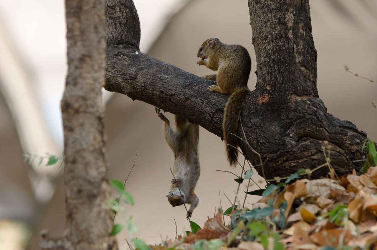 South Luangwa National Park - Tree squirrel