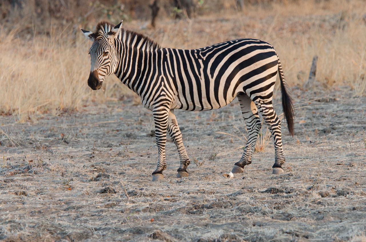 South Luangwa National Park - Crawshay's zebra