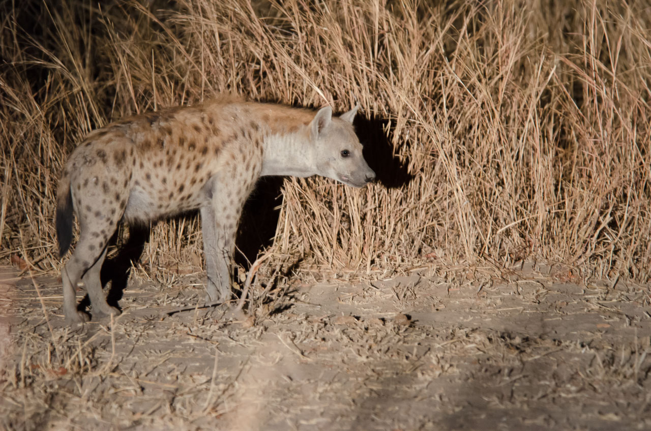 South Luangwa National Park - Hyena