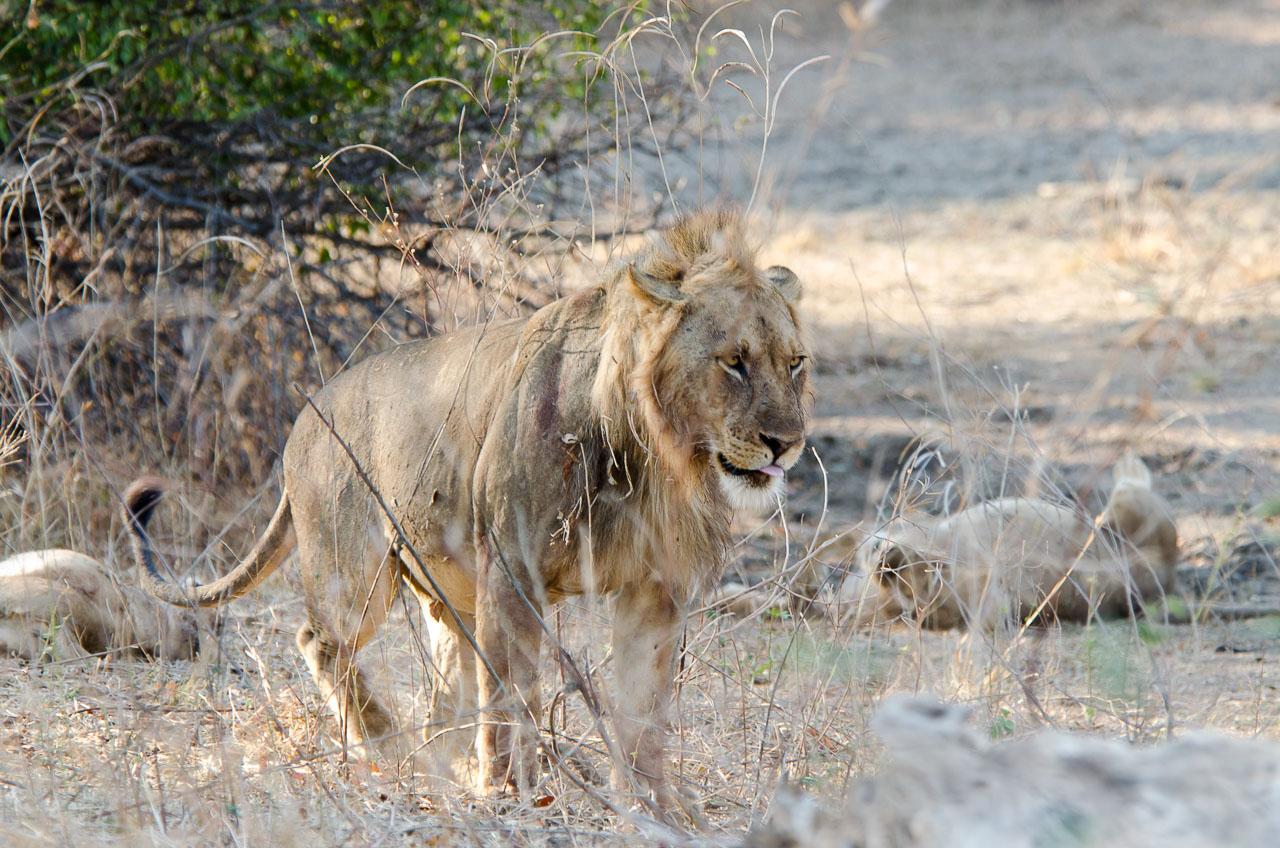 South Luangwa National Park - Lion