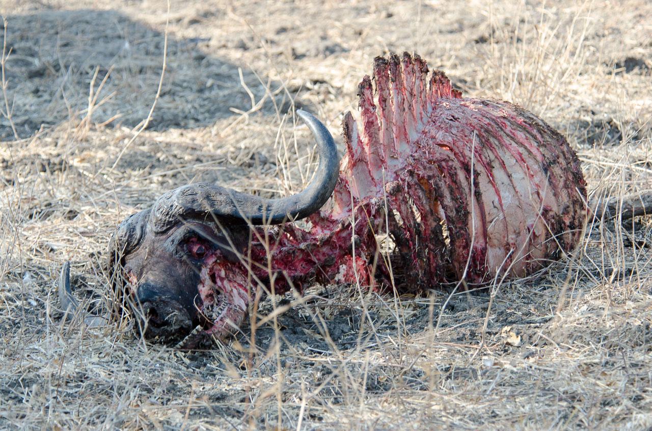 South Luangwa National Park - Buffalo carcass
