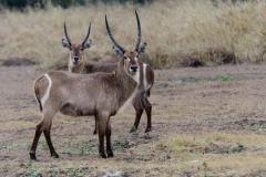 Gorongosa - Waterbuck