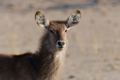 Liwonde - Waterbuck