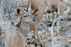 Liwonde - Kudu