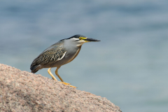 Mumbo Island - Green-backed heron