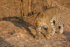 South Luangwa - Leopard