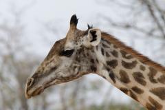 South Luangwa - Thornicraft's giraffe