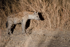 South Luangwa - Hyena
