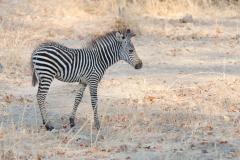 South Luangwa - Crawshay's zebra