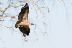 south Luangwa National Park - White-backed vulture