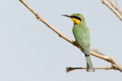 South Luangwa - Little Bee-eater