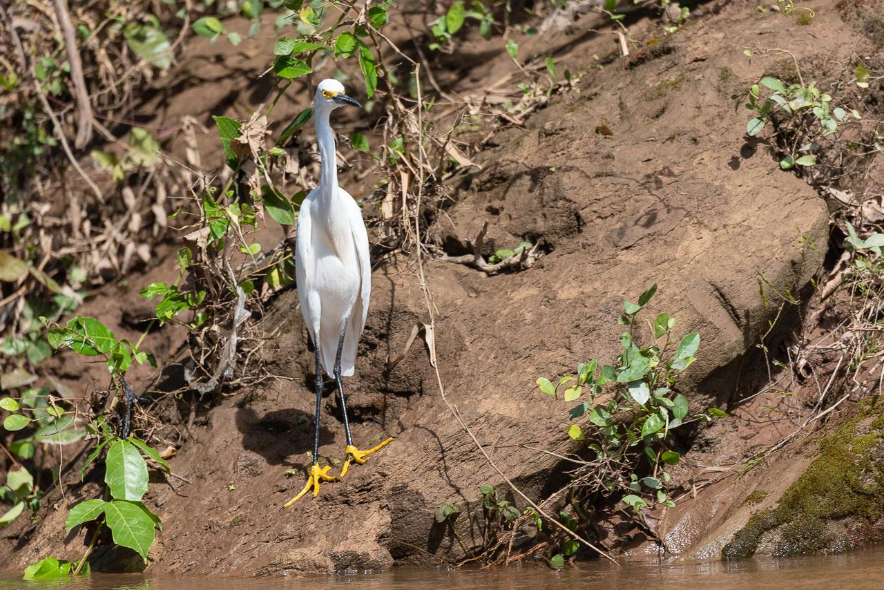 Amazon - Snowy egret