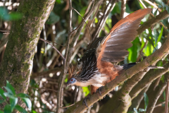 Amazon - Hoatzin