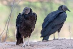 Sipán - Black vulture