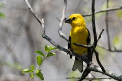 Chaparri - Yellow grosbeak
