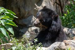 Chaparri - Spectacled bear