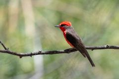 Chaparri - Vermilion flycatcher
