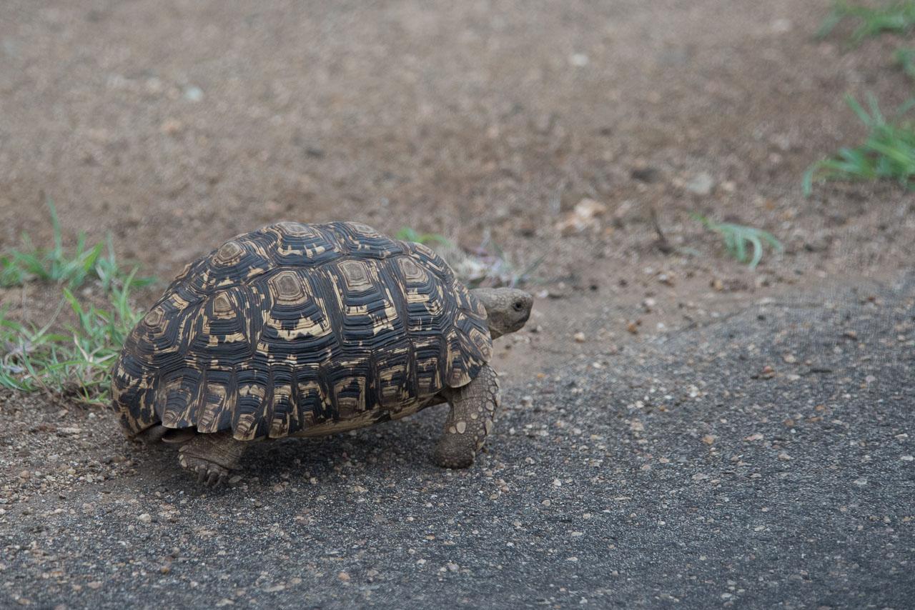 Kruger Park - Leopard Tortoise