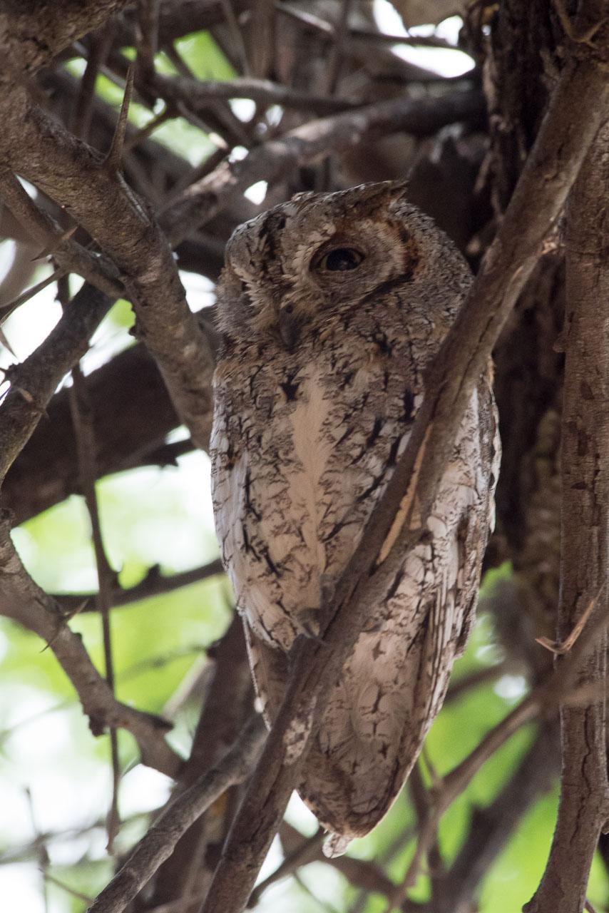 Kruger Park - African Scops-owl