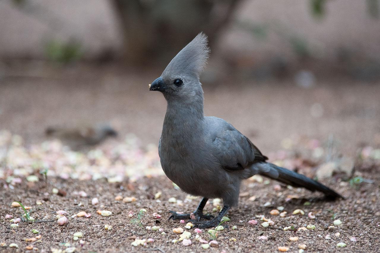 Kruger Park - Grey Go-away Bird