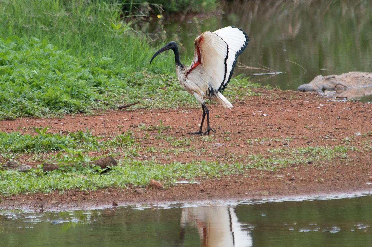 Mlilwane - African Sacred Ibis
