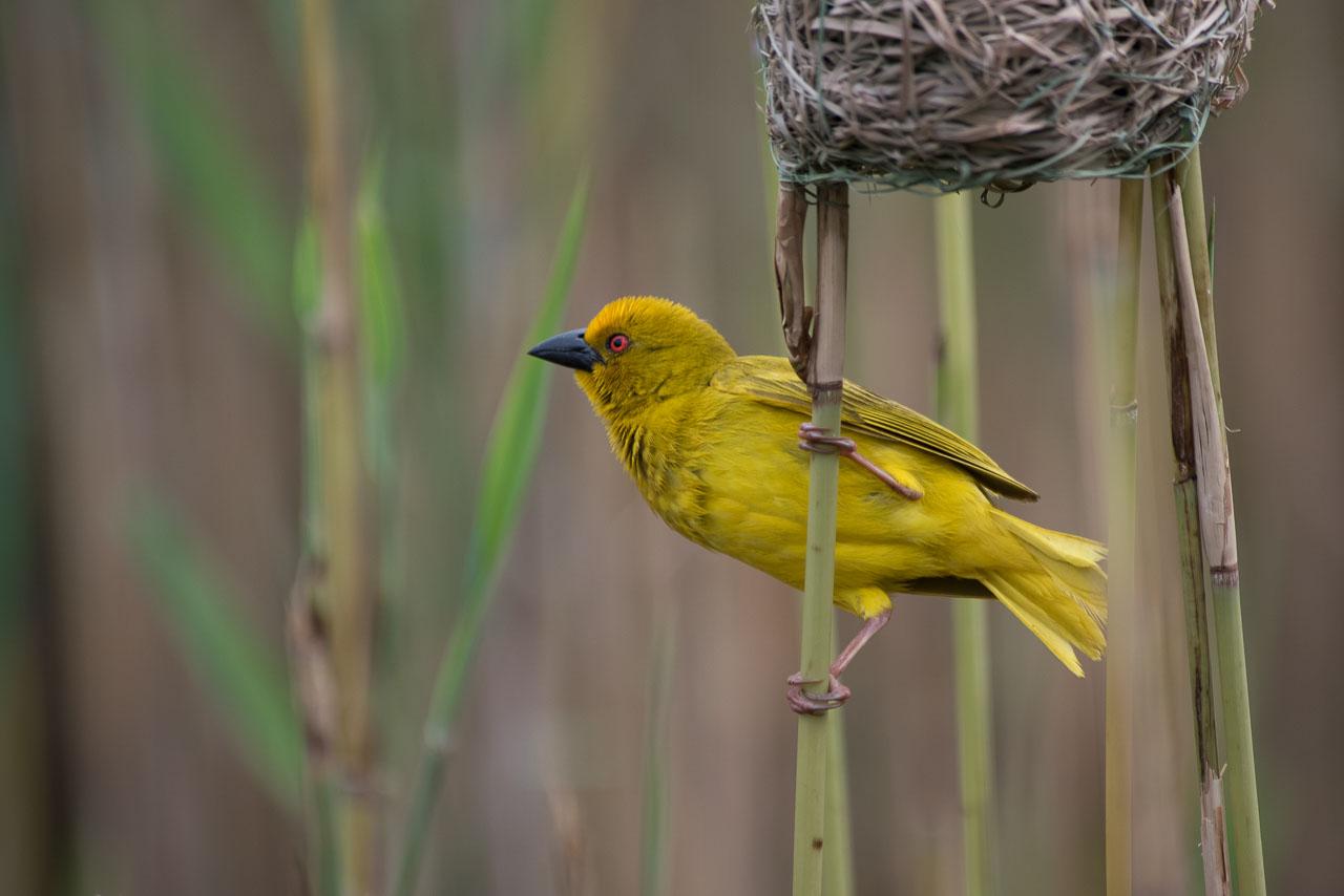 St. Lucia - Yellow Weaver