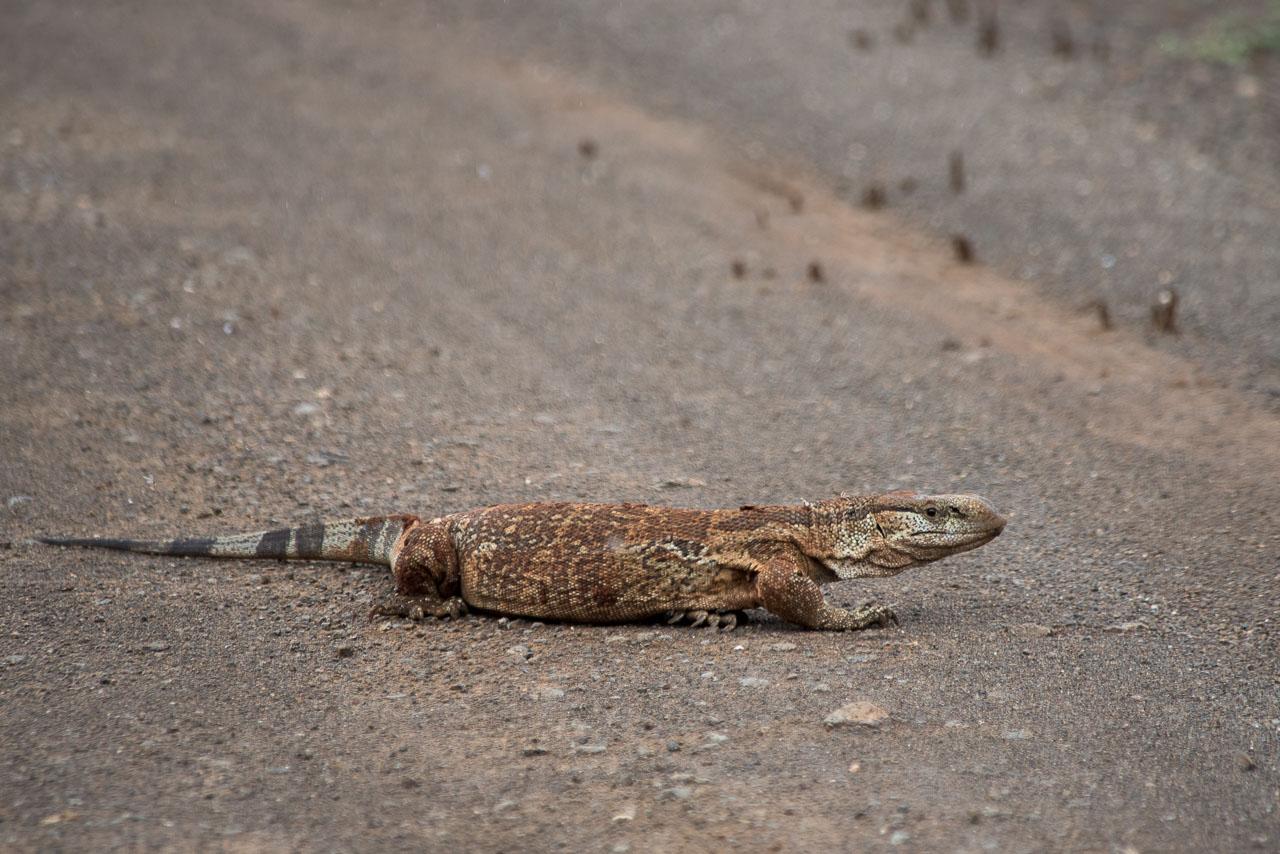 Hluhluwe-Umfolozi - Monitor Lizard