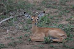Kruger Park - Impala