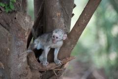Kruger Park - Vervet Monkey