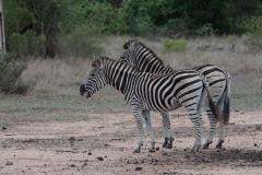 Kruger Park - Burchell's Zebra