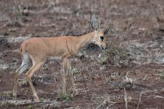Kruger Park - Steenbok