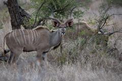 Kruger Park - Kudu