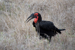 Kruger Park - Ground Hornbill