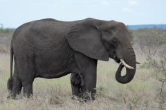 Kruger Park - Elephant with young