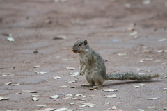Kruger Park - Ground Squirrel