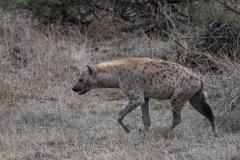 Kruger Park - Hyena