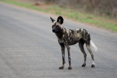 Kruger Park - Wild Dog