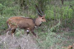 Kruger Park - Bushbuck